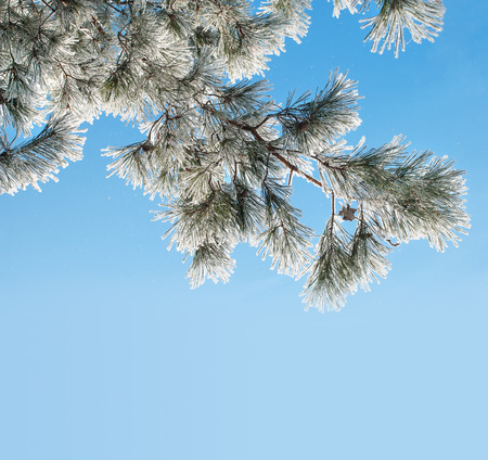 Pine branch with needles covered with dense hoarfrost against the blue sky