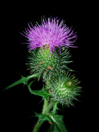 Pink flower of a prickly thistle isolated on a black background Stock Photo