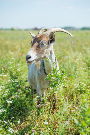 Horned goat grazing on the meadow at summer day