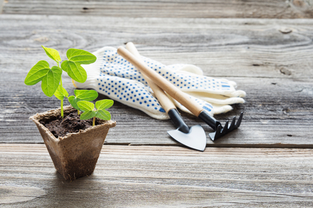 Concept of gardening: green shoots of seedlings in a peat pot, gloves, rake and shovel on a wooden background, with space for text