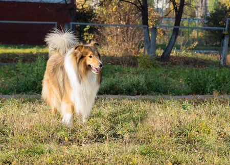 Purebred dog collie walks on playground for dogs in the park Stock Photo