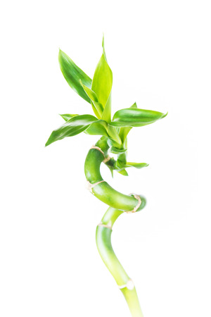 Single stem  of houseplant  Lucky Bamboo (Dracaena Sanderiana) with green leaves, twisted into a spiral shape, isolated on white background Stockfoto