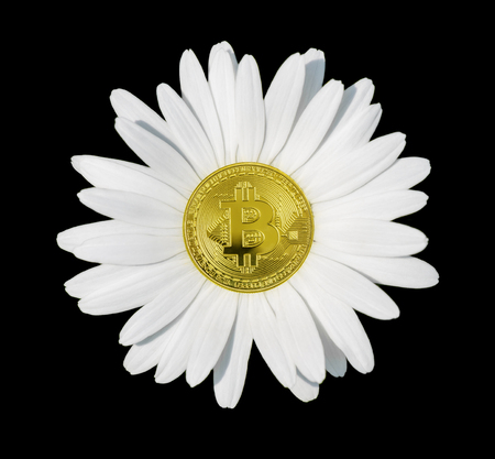Concept bitcoin - chamomile flower with white petals close-up, isolated on a black background