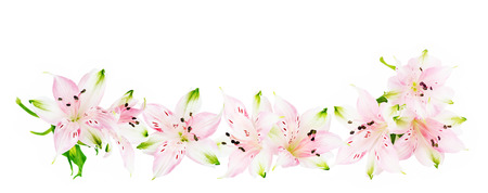 Border of pink Alstroemeria flowers isolated on white background