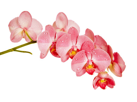 Blossoming branch of red orchid flowers isolated on a white background