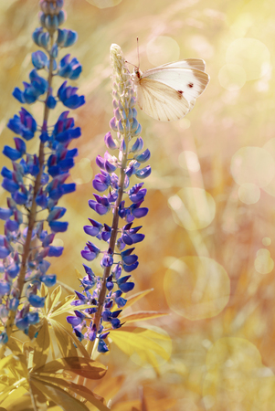 Vintage image of blue lupine flowers and white butterfly at sunrise  Stock Photo
