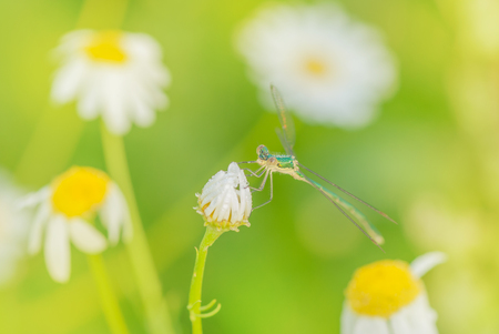 Green graceful dragonfly sits on a bud of a white daisy flower covered with dew drops, on a green meadow in the early summer morning. Beautiful natural wallpaper