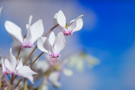 White flowers of wild cyclamen or alpine violet close-up against a blue sky Stock Photo