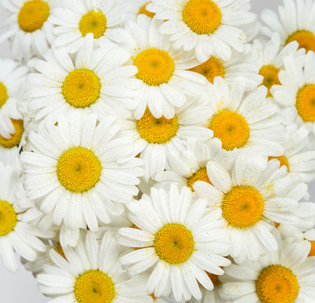 Natural background, consisting of many flowers of chamomile, covered with water drops, closeup