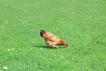 Brown chicken eating food on the green grass. Farming ore pet concept