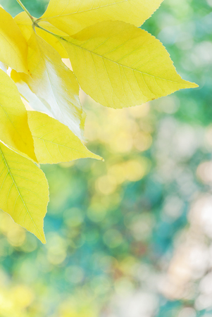 Autumn yellow leaves are on a natural yellow green defocused background