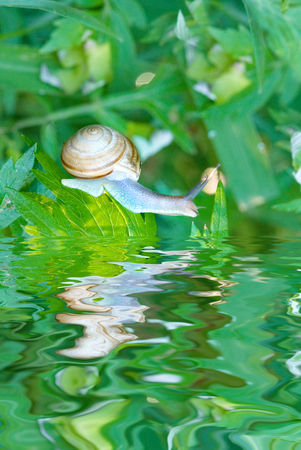 Garden snail on green foliage looks at his reflection in the water