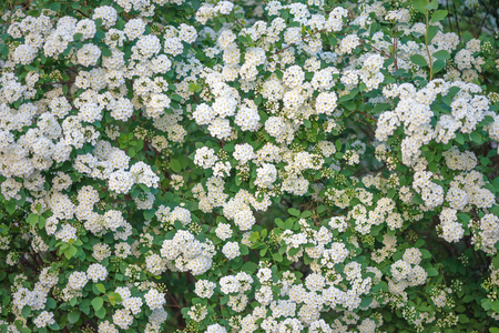 Green fence of blooming Spirea Wangutta with white flowers Stock Photo