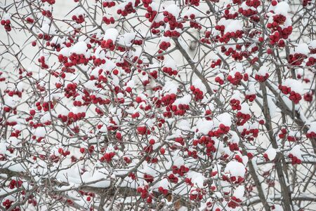 Large red berries of wild hawthorn on thorny branches covered with white snow in cold winter