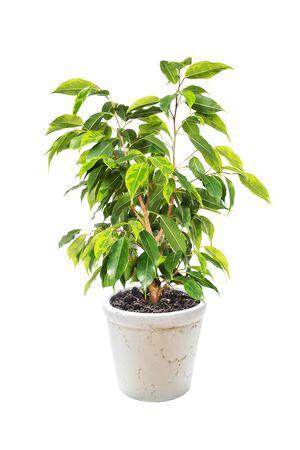 Zimmerpflanze Ficus Benjamina im Blumentopf isoliert auf weißem Hintergrund