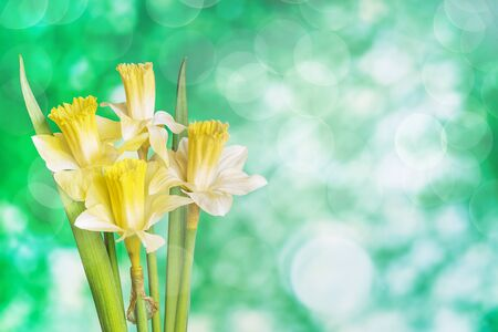 Beautiful bouquet of yellow Narcissus flowers on a green natural background with highlights of light and space for text. Layout for postcard or invitation Stock fotó