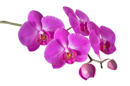 Branch of purple phalaenopsis orchid flowes isolated on a white background, close-up