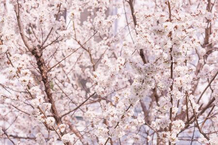 Spring branches of blossoming cherry at a foggy morning