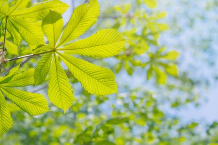Beautiful natural background. Green leaves of chestnut against the blue sky on a clear summer day