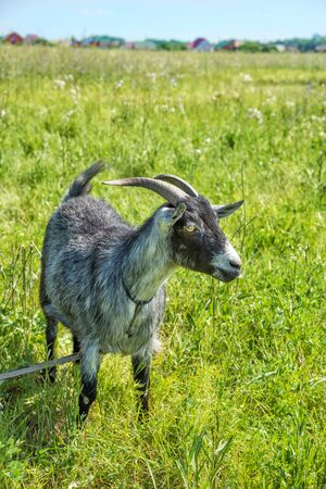 Portrait of a black and white horned goat with yellow eyes grazing in a meadow with lush grass on a bright summer day