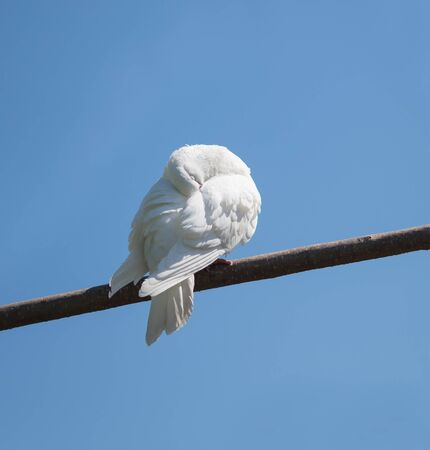 White dove resting on a branch, eyes closed and his head resting under his wing.