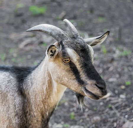 Close-up portrait of a brown domestic goat with horns outdoors Banque d'images