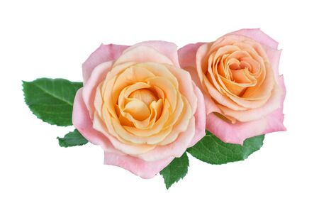 Two unique yellow-pink rose flowers, isolated on a white background