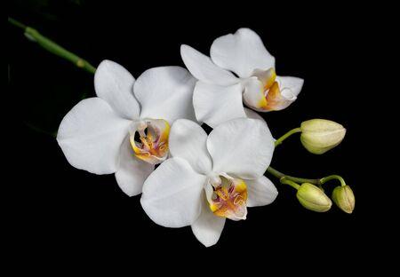 Weiße Blüten einer Phalaenopsis-Orchidee mit mehreren Knospen auf einem Ast, isoliert auf schwarzem Hintergrund