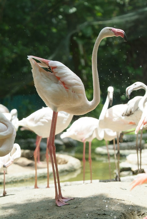 unnatural: White flamingo standing in a somewhat unnatural position. Background out of focus. Stock Photo