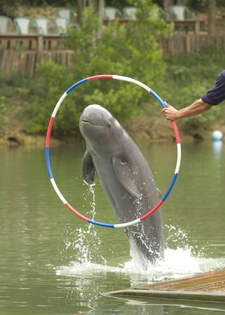 An Irrawaddy dolphin jumping through a hoop.