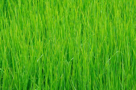 korat: Detail of rice paddy field in Korat, northeast Thailand. Stock Photo