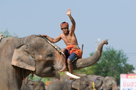 SURIN - NOVEMBER 21: Mahout riding on the trunk of his elephant during The Annual Elephant Roundup on November 21, 2010 in Surin, Thailand. Editorial