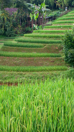 Rice terraces in Sapa Valley, Vietnam. Focus on the rice plants in the foreground. photo