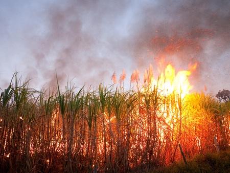 cane sugar: Sugarcane field in Nakhon Ratchasima, Thailand set on fire to make harvesting faster.