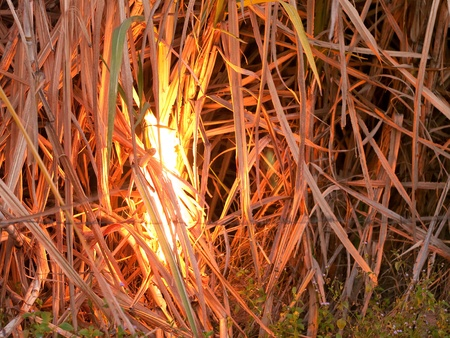 Sugarcane field in Nakhon Ratchasima, Thailand set on fire to make harvesting faster.