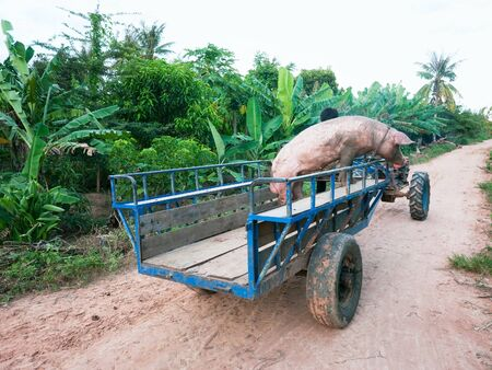 male pig: Male pig on its final transport to a local butcher in rural Cambodia