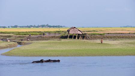 third world: Kaladan River Rakhine State Myanmar  October 16 2014: Water buffaloes and villagers at rice fields along the Kaladan River at the Rakhine State in Myanmar. Editorial