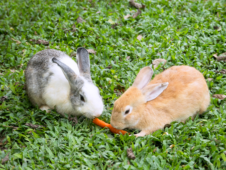leporidae: Two small rabbits in the grass, sharing a piece of carrot. Stock Photo