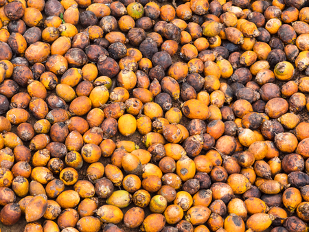 Areca nuts, also called betel nuts, in a village of the Tanintharyi Region in South Myanmar.