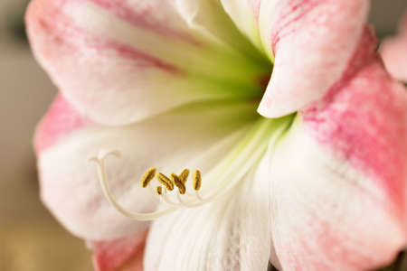 ornamental horticulture: Amaryllis in bloom. Nature background. Stock Photo
