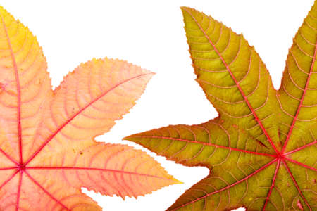 pharmaceutical plant: Castorbean leaf. Castor oil plant, Ricinus communis, medical and pharmaceutical plant. Colorful autumn leaves isolated on white. Stock Photo