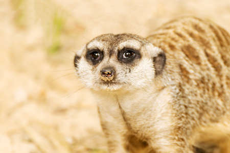life guard stand: Portrait of Meerkat. Suricata suricatta. Wild animal