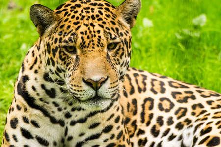 panthera onca: Close-up view of a Jaguar. Panthera onca Stock Photo