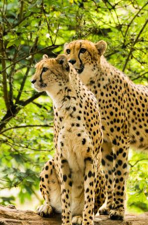 acinonyx: Two cheetahs. Acinonyx jubatus. Wild animal and wildlife