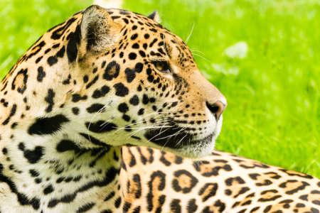 panthera onca: Portrait of a Jaguar. Panthera onca. Stock Photo