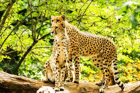 jubatus: Two cheetahs Acinonyx jubatus.