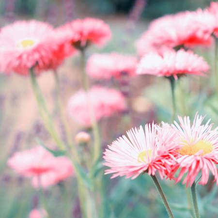 Aster flowers Reklamní fotografie