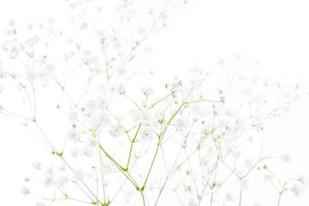 White flowers background (gypsophila paniculata), blurred
