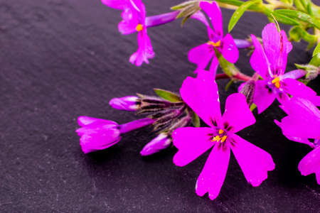 close-up of Phlox on stone background with copy space. macro spring and summer border template floral. greeting and holiday card.