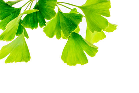 Ginkgo biloba leaves isolated on white background 版權商用圖片